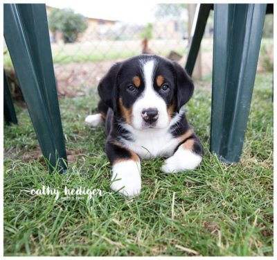 Greater Swiss Mountain dog puppy at six weeks