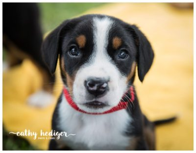 Sweet face of a Greater Swiss Mountain Dog puppy